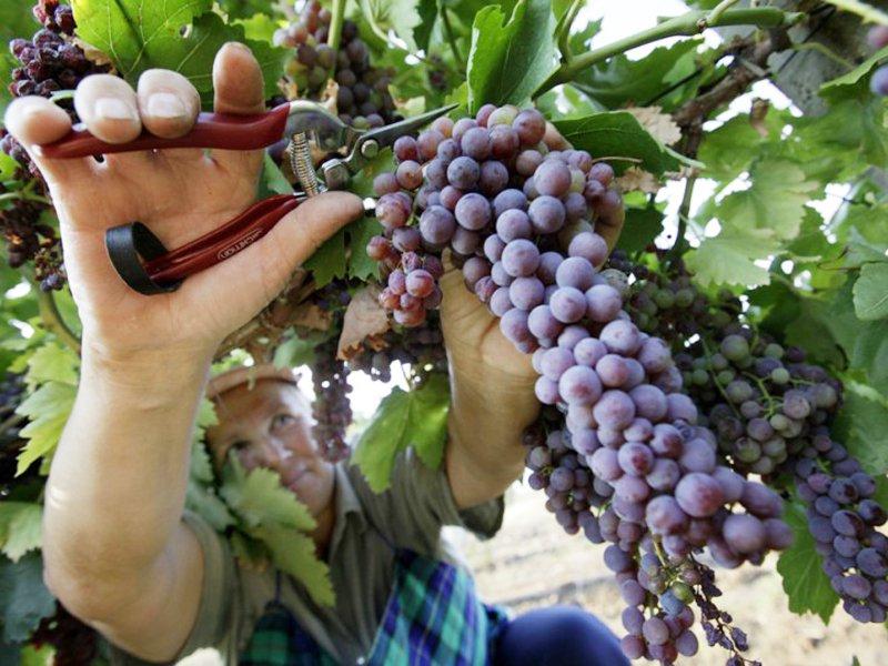 Выращивание винограда оквэд 26
