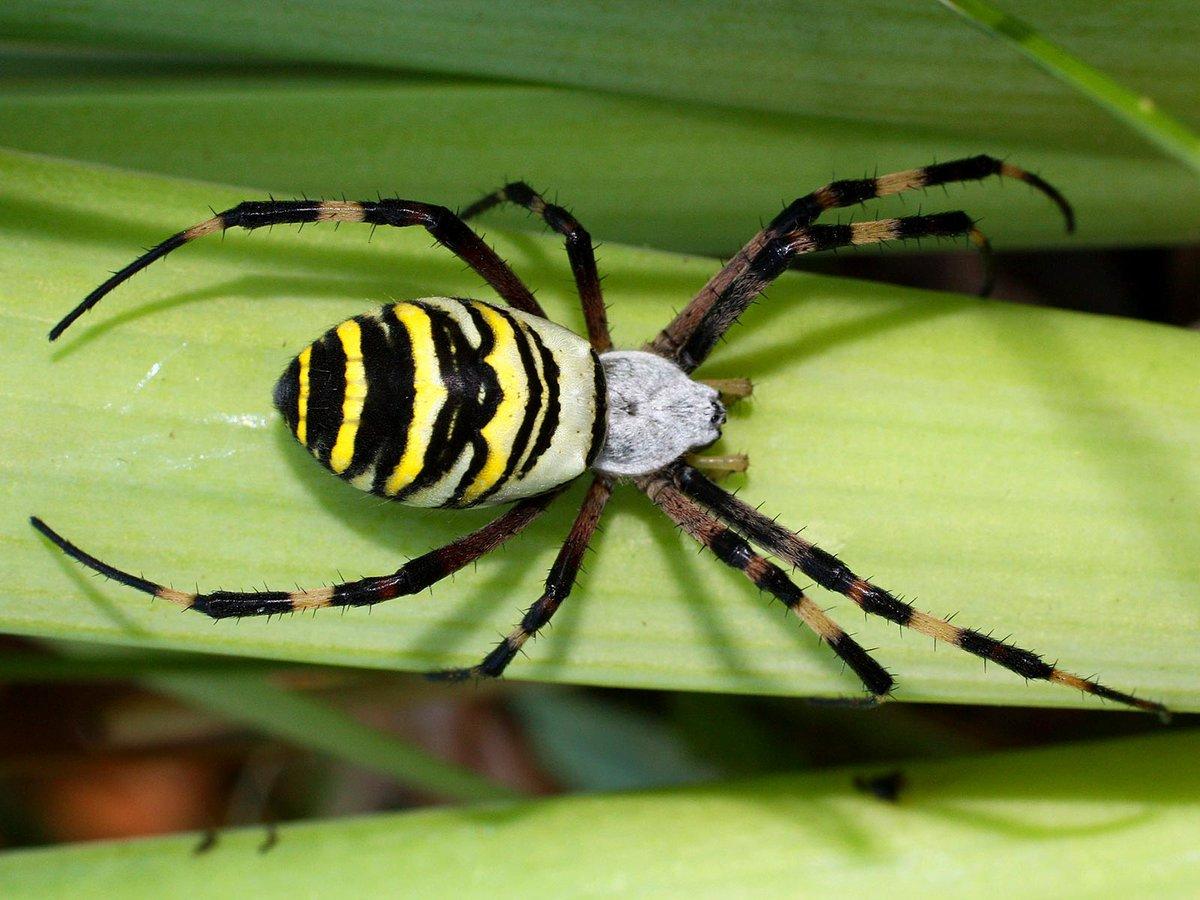 его паук черный с желтыми полосками фото и описание именно место