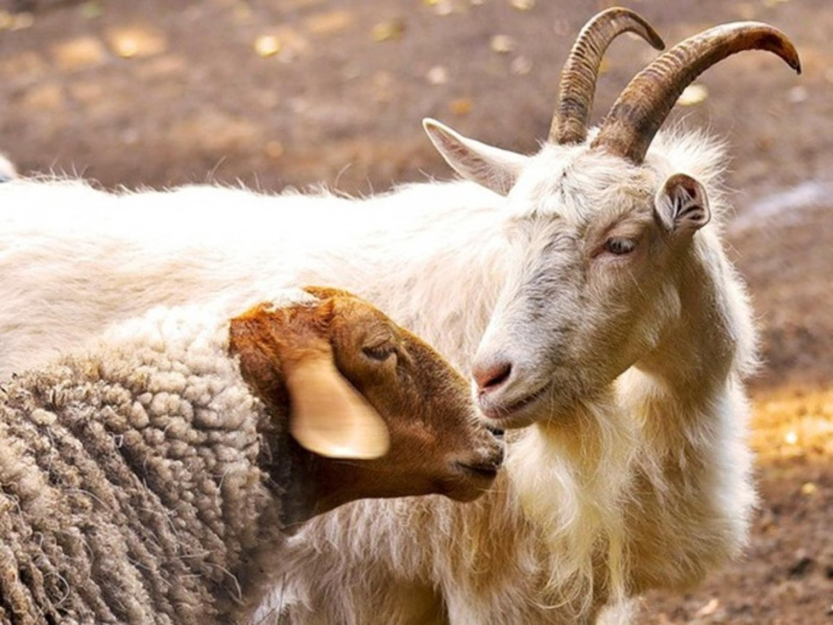 Козы овечки картинки